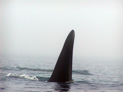 Sea Kayaking with Orca Whales