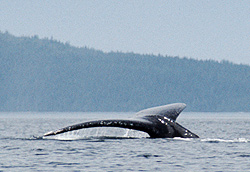 Whale Watching - Humpback Whales