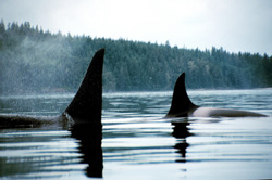 Killer whales in Johnstone Strait, British Columbia